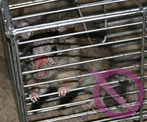 Ratas fumigaciones de ratas ratones control desratizacion - Trampas para cazar ratas ...