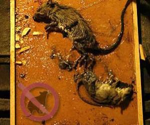 Trampas de pegamento para ratas ratones engomadas se pegan - Trampas para ratones y ratas ...